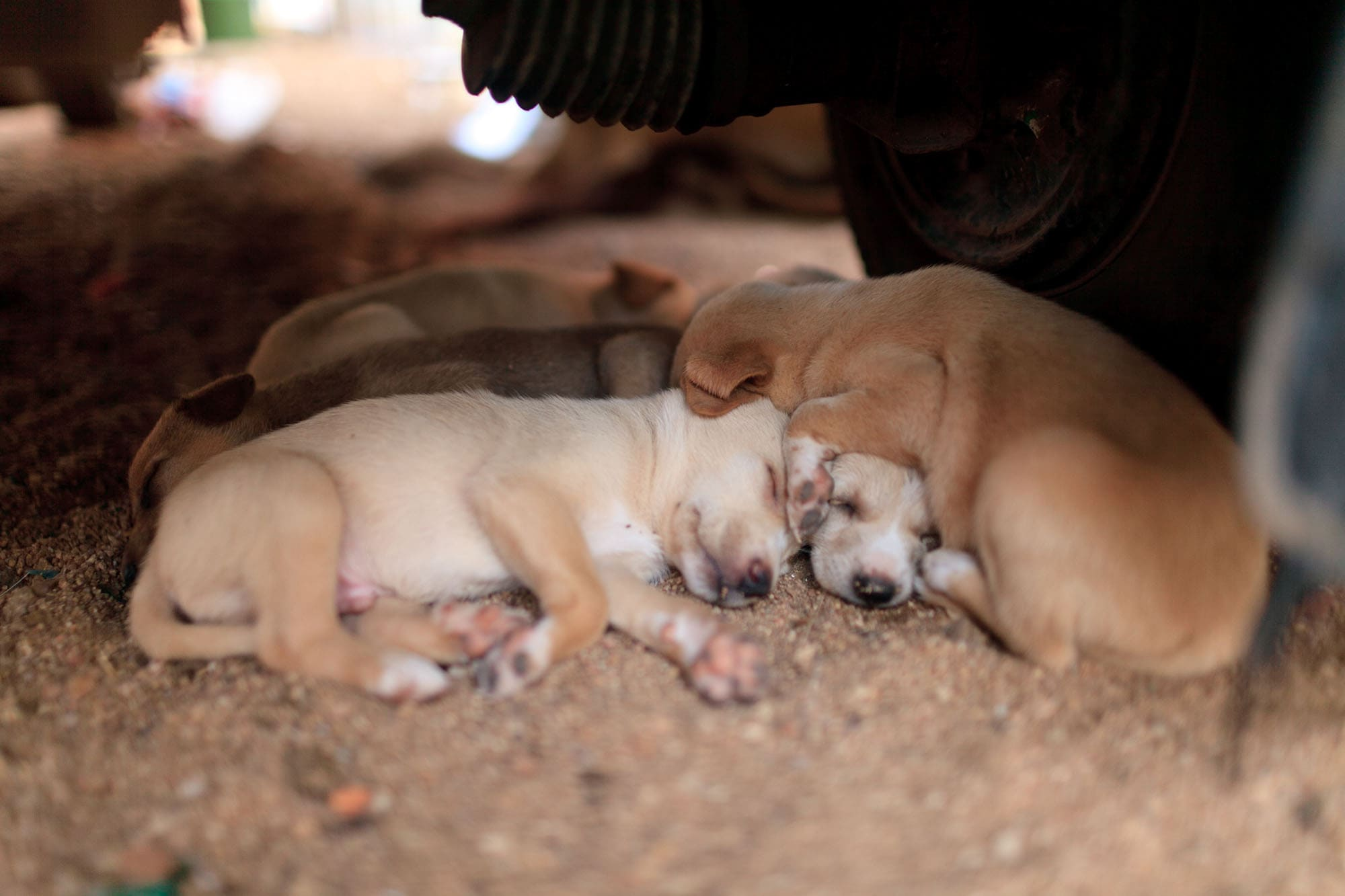 Stray puppies in Hampi, India