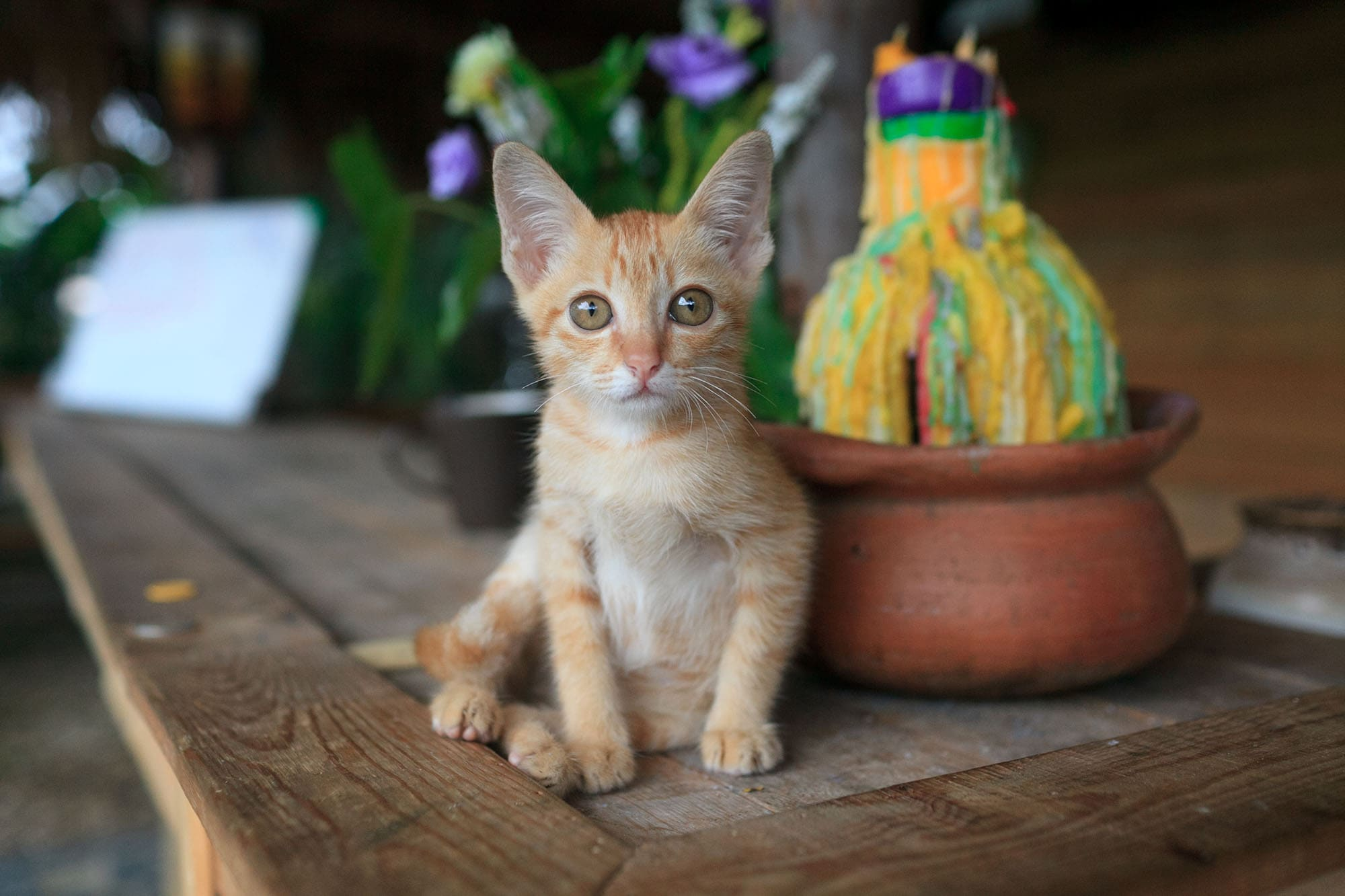 Mimi the cat in Chiang Mai