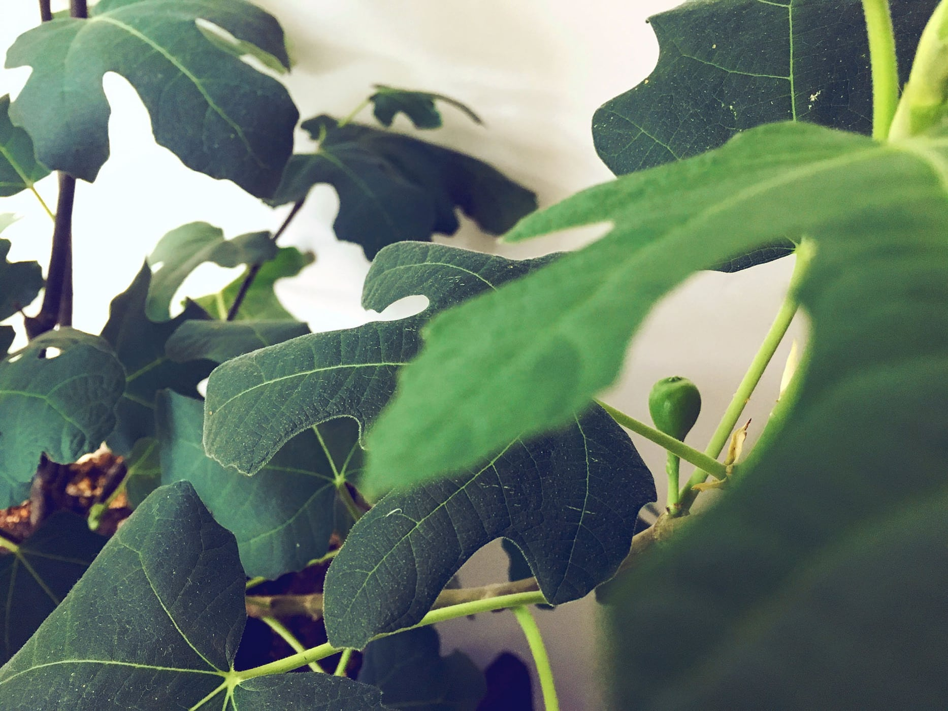 Growing a fig - Week 2