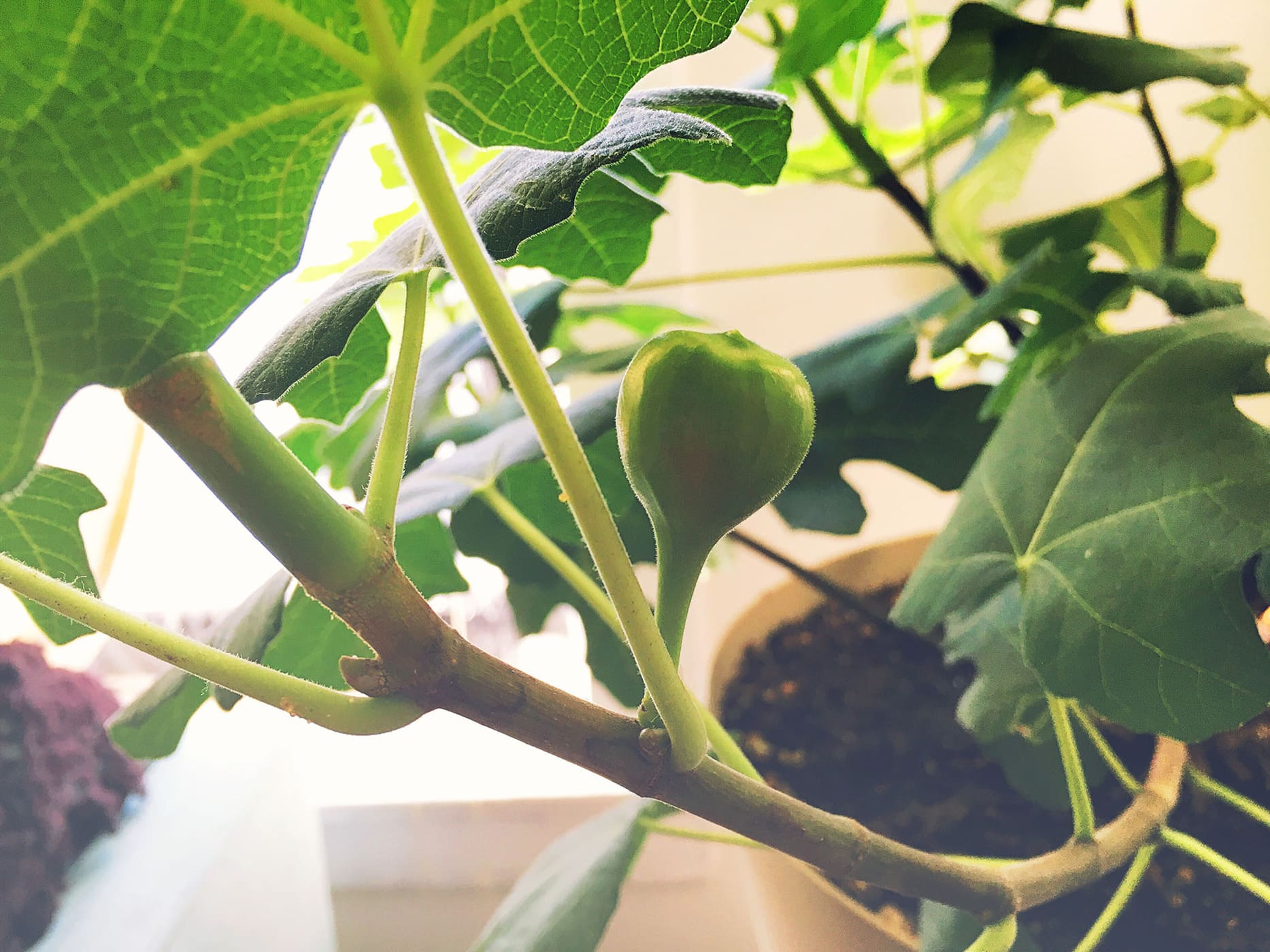 Growing a fig - Week 3