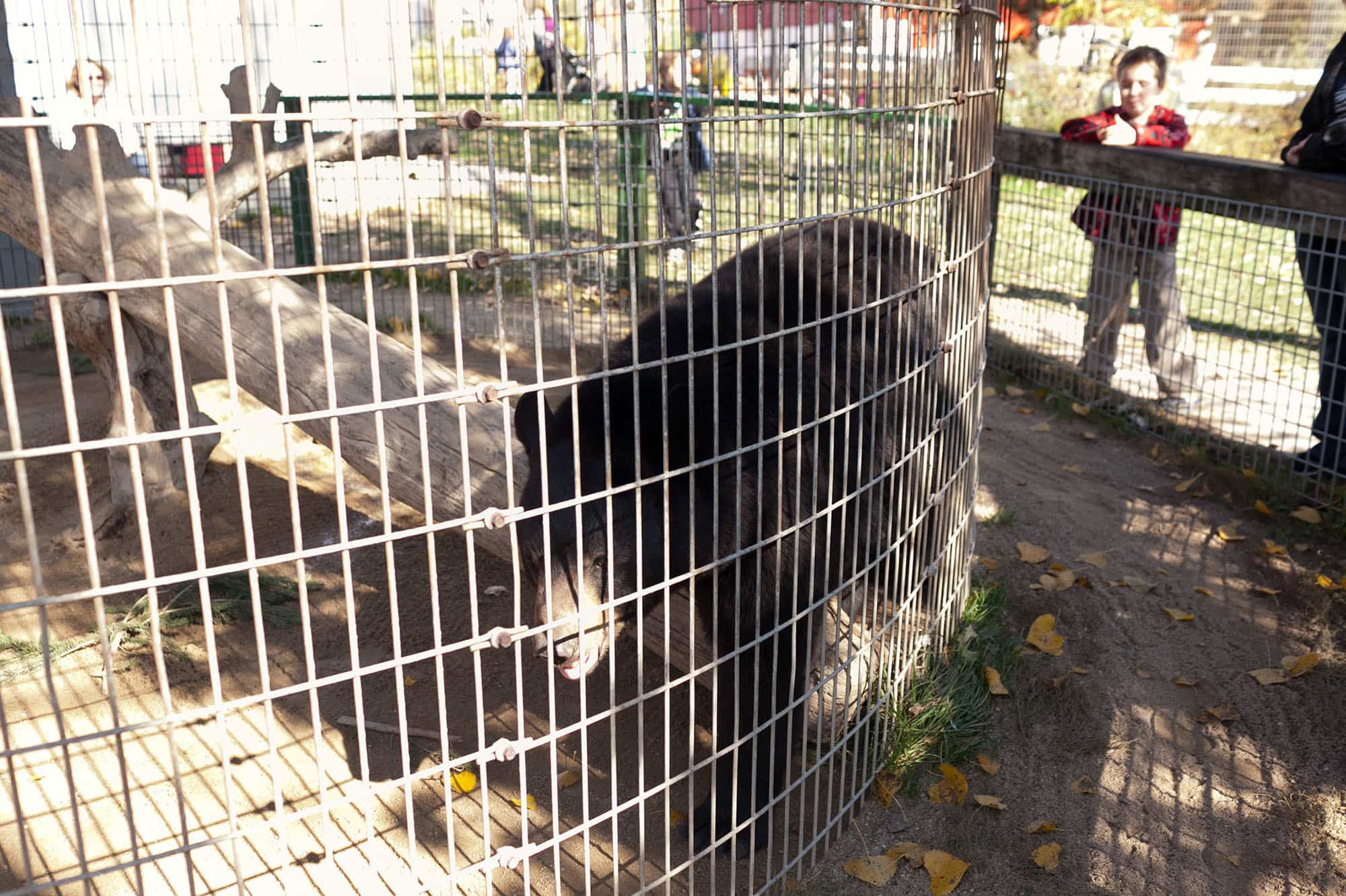 Bear at Bear Den Zoo and Petting Farm in Wisconsin