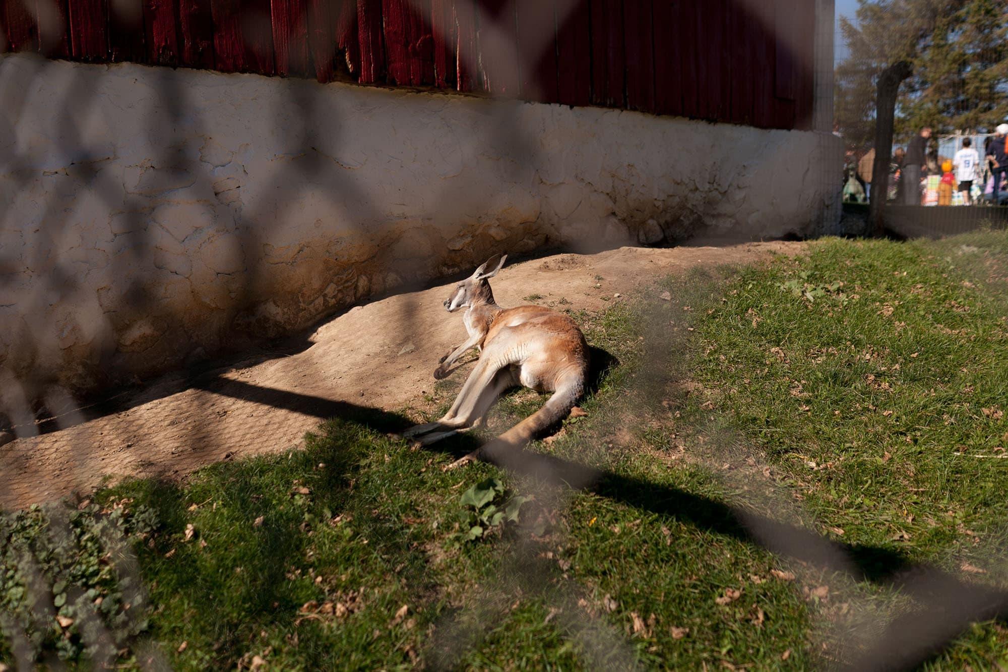 Kangaroo at Bear Den Zoo and Petting Farm in Wisconsin