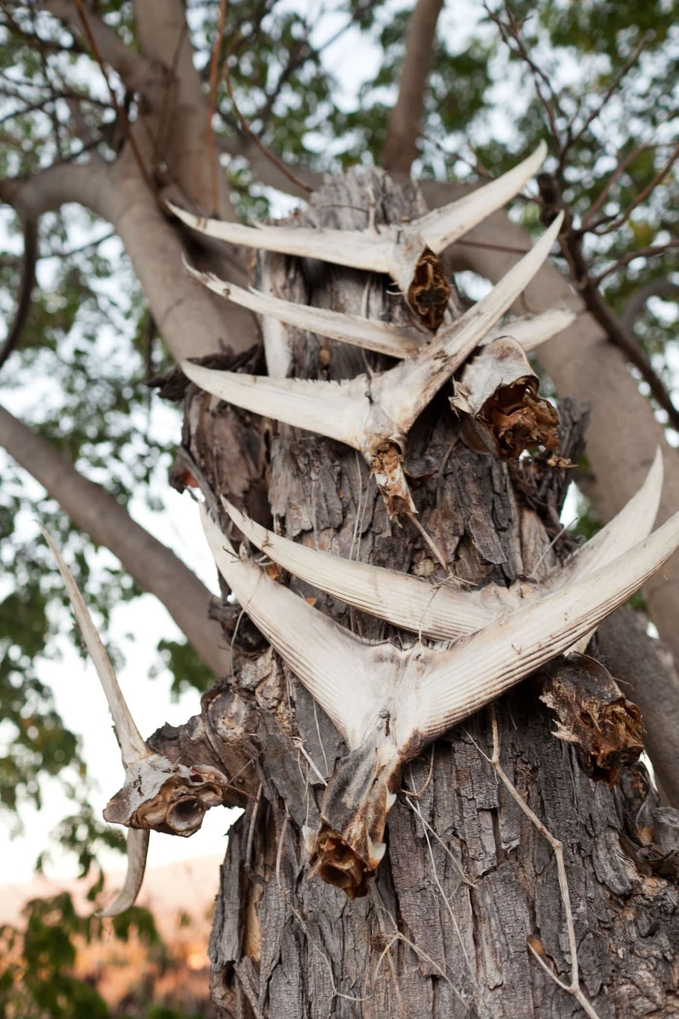 Fish tied to a tree Big Island in Hawaii