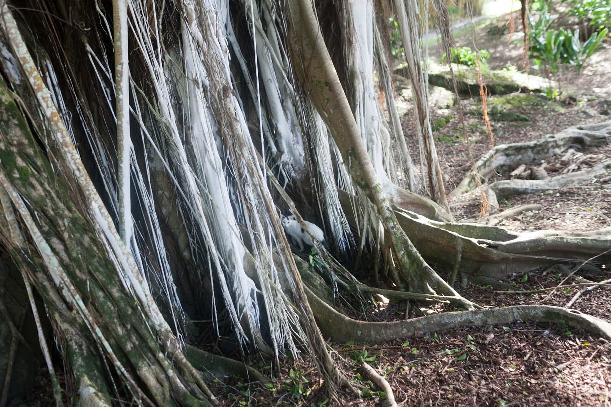 Liliʻuokalani Park and Gardens. Banyan trees in Hilo, Big Island, Hawaii. Things to do in Hilo, Hawaii.