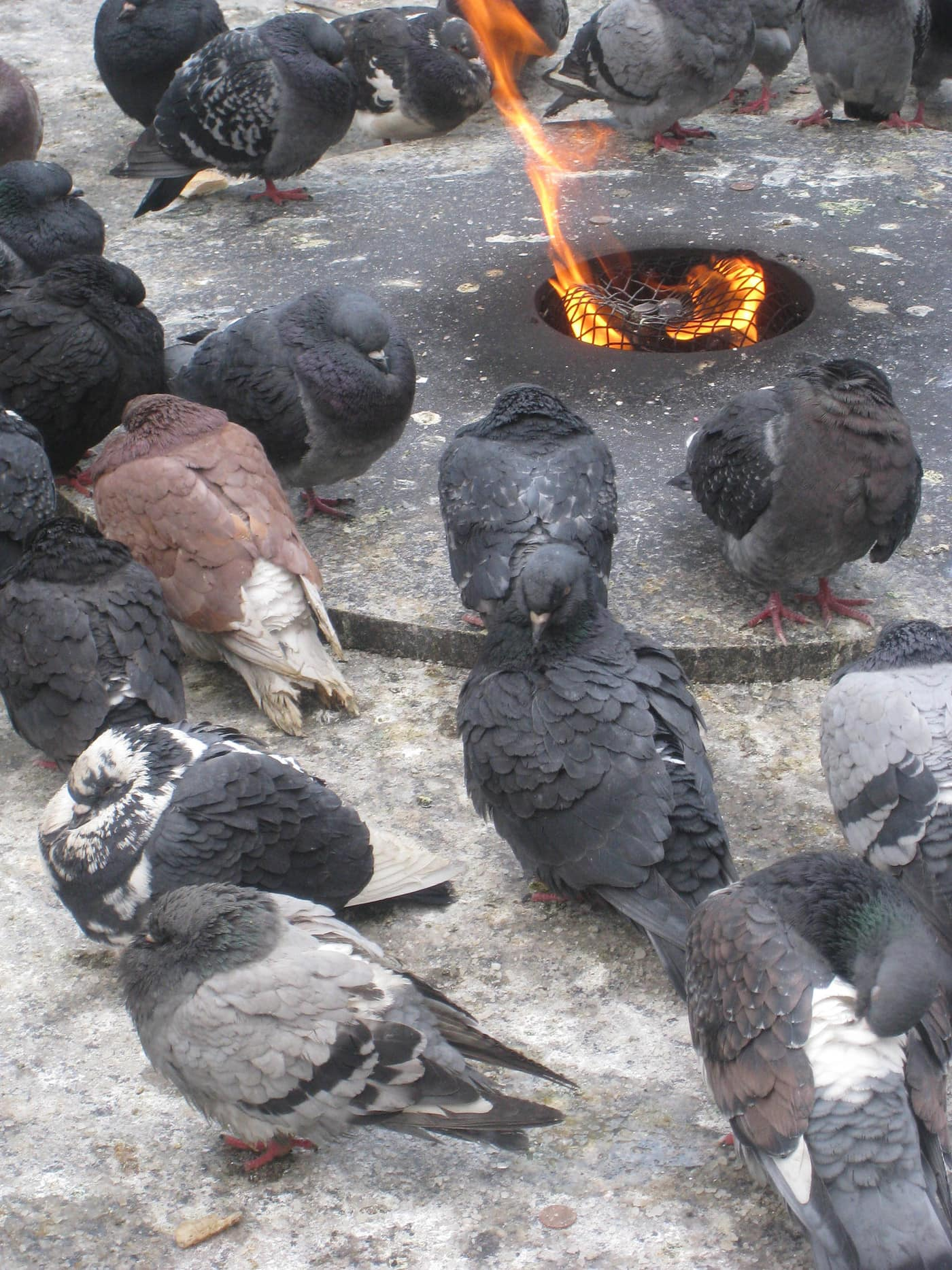 Pigeons outside in the cold