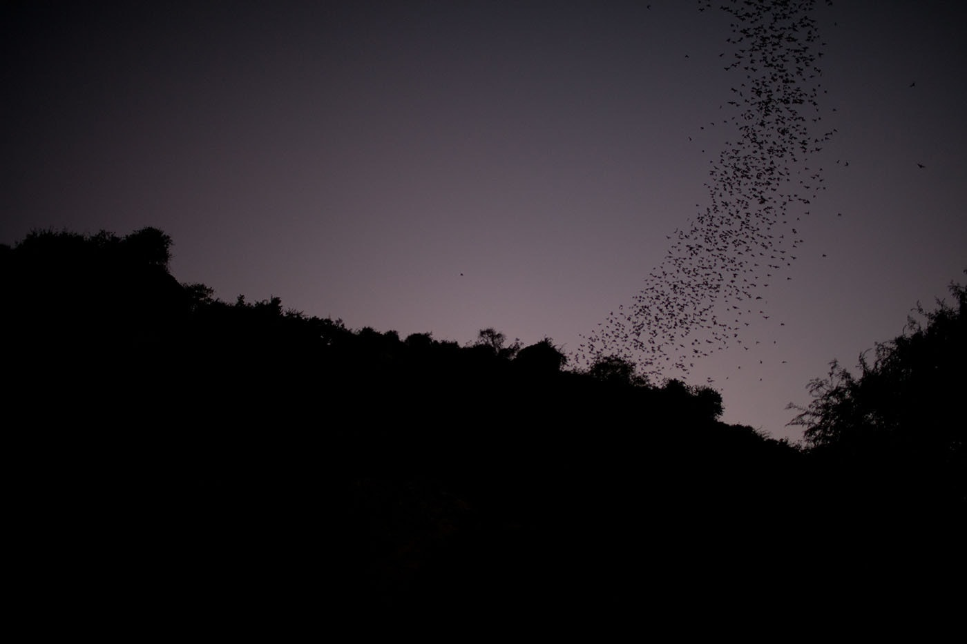 Bats flying from the killing caves in Battambang, Cambodia