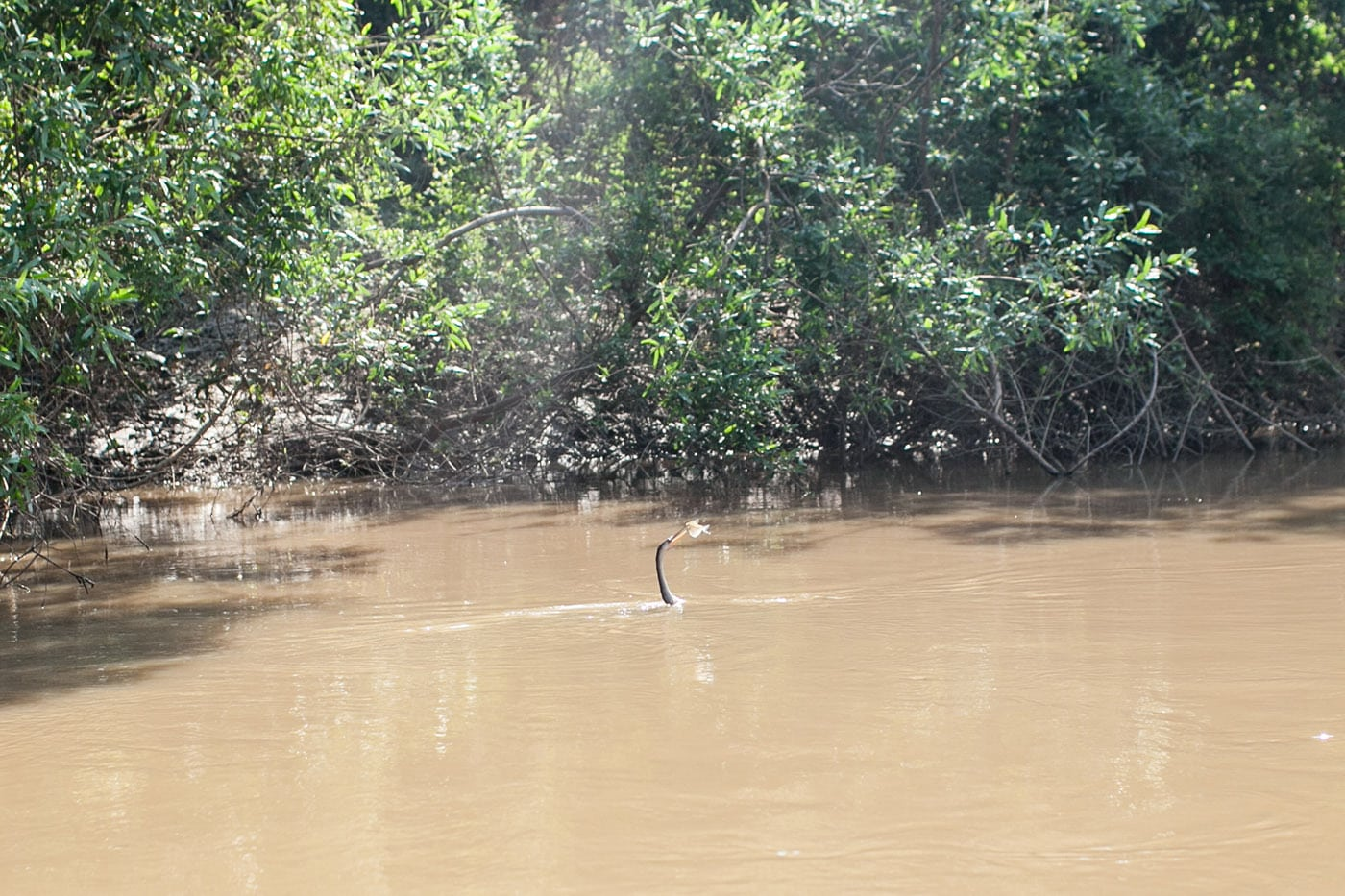 Bird Catching a fish - The Pampas in the Bolivian Amazon