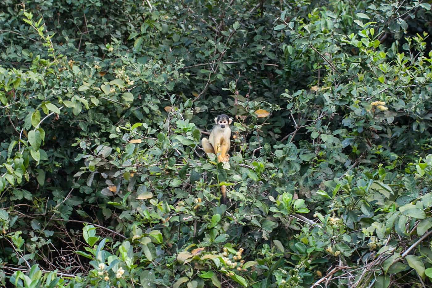 Monkeys - The Pampas in the Bolivian Amazon
