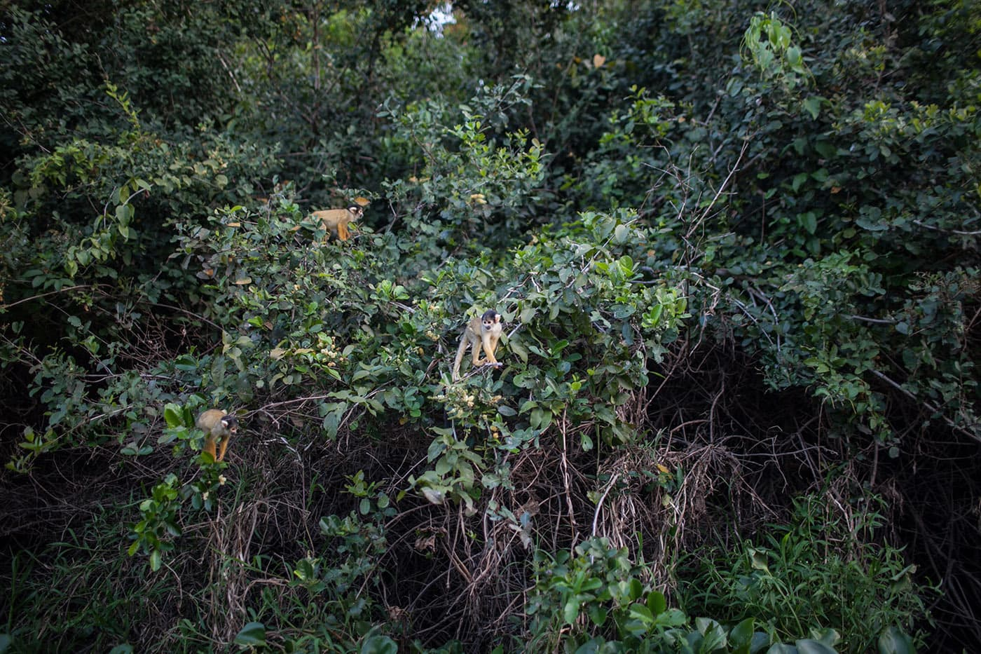 Monkey - The Pampas in the Bolivian Amazon