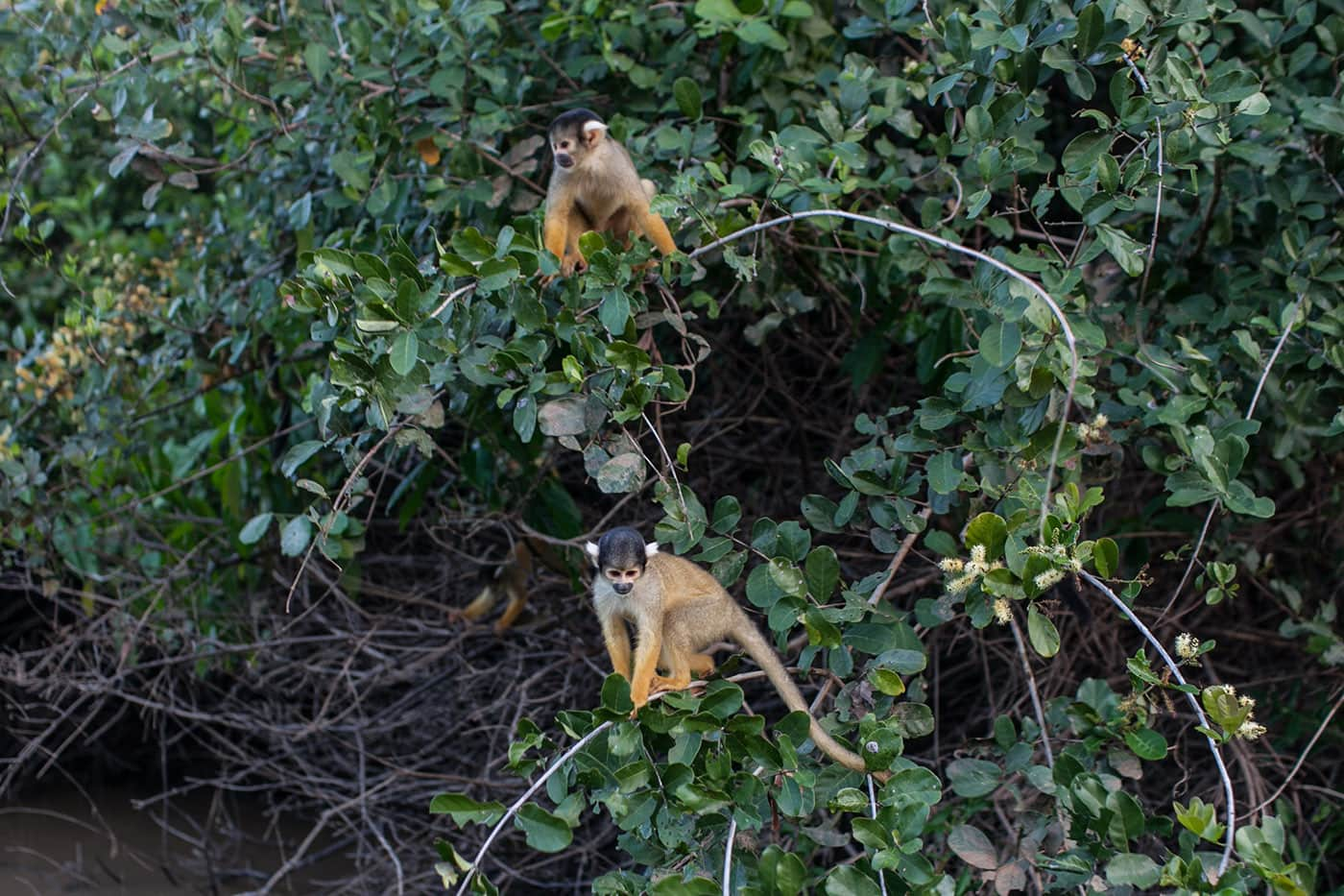 Monkey -The Pampas in the Bolivian Amazon