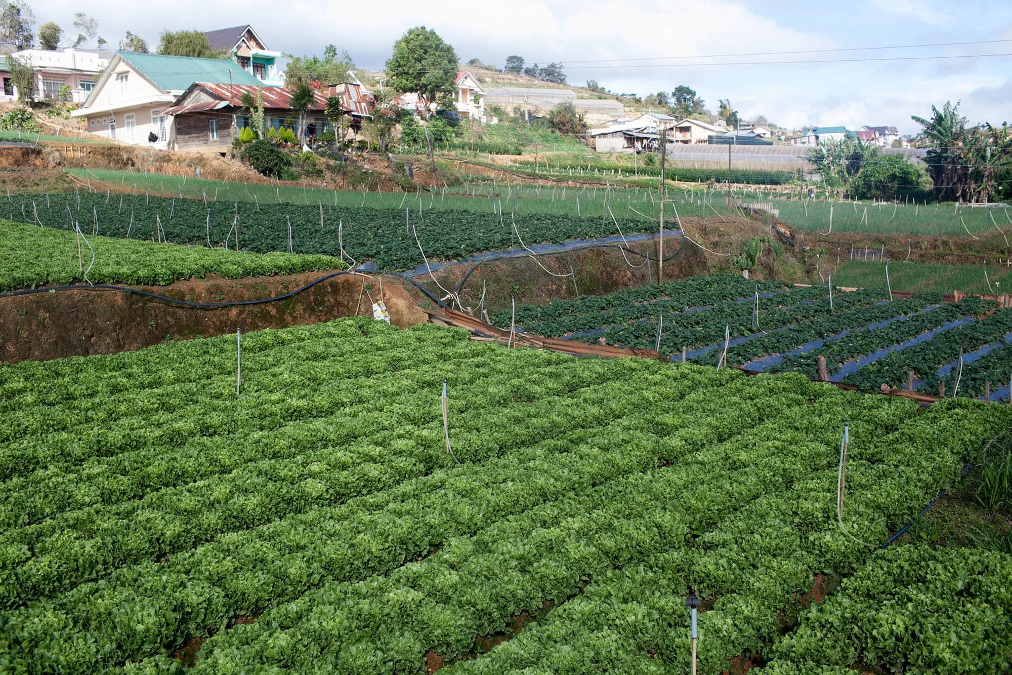 Vegetable farms in Dalat, Vietnam - Dalat Countryside Tour in Vietnam