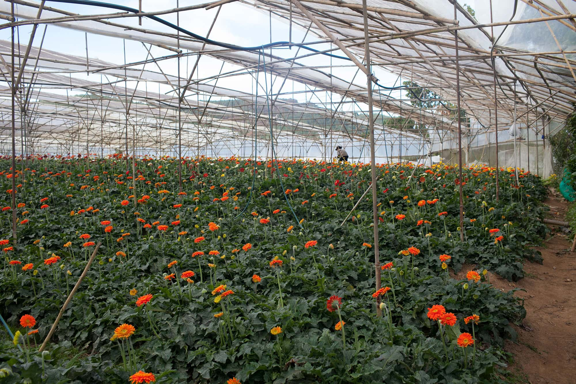 Flower farm in Dalat, Vietnam - Dalat Countryside Tour in Vietnam