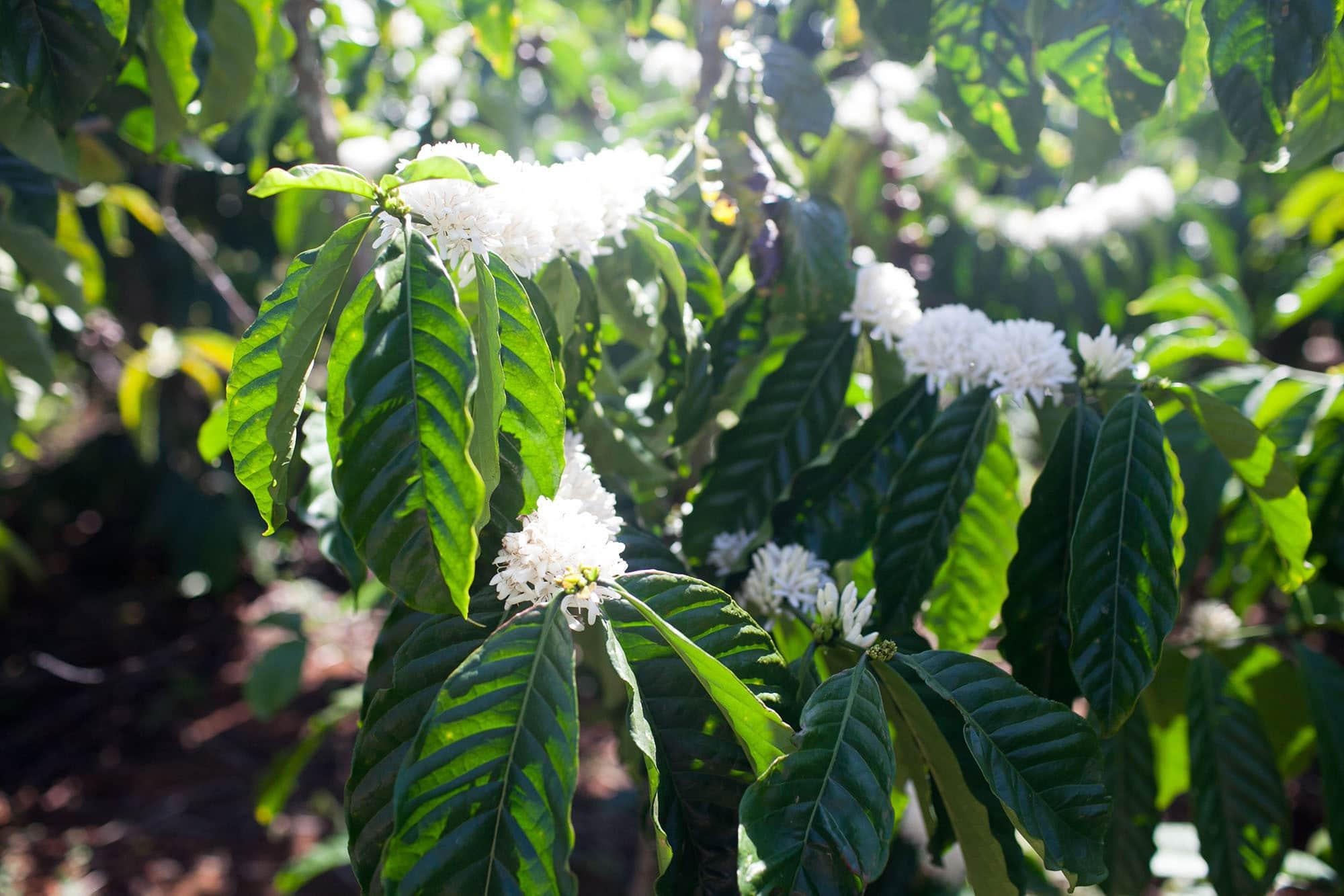 Coffee plants in Dalat, Vietnam - Dalat Countryside Tour in Vietnam