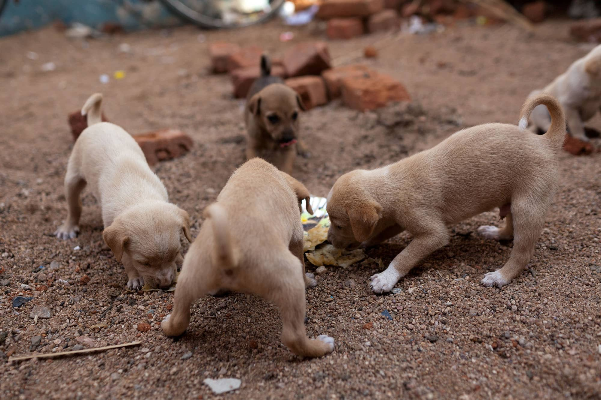 Stray puppies in Hampi, India.