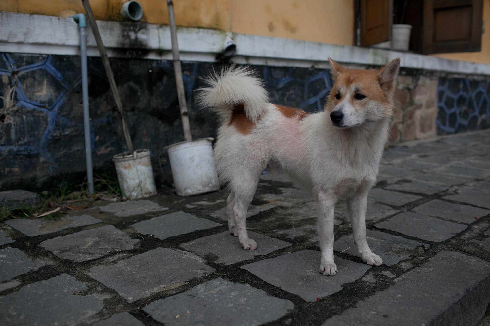 Pink dog in Hoi An, Vietnam