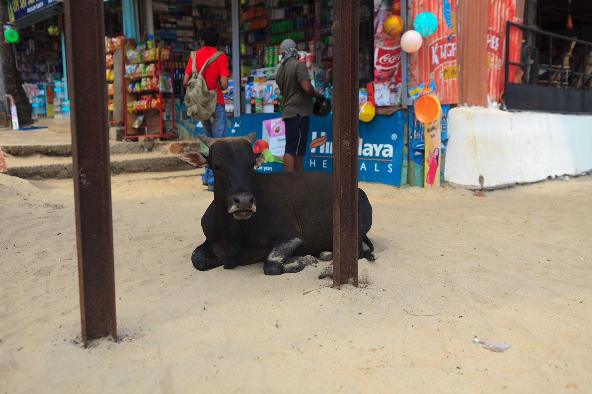 A cow on the beach in Palolem, Goa, India.