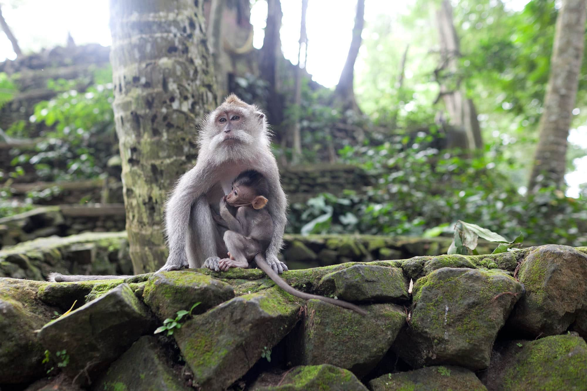Monkey Forest in Ubud, Bali. • Choosing Figs