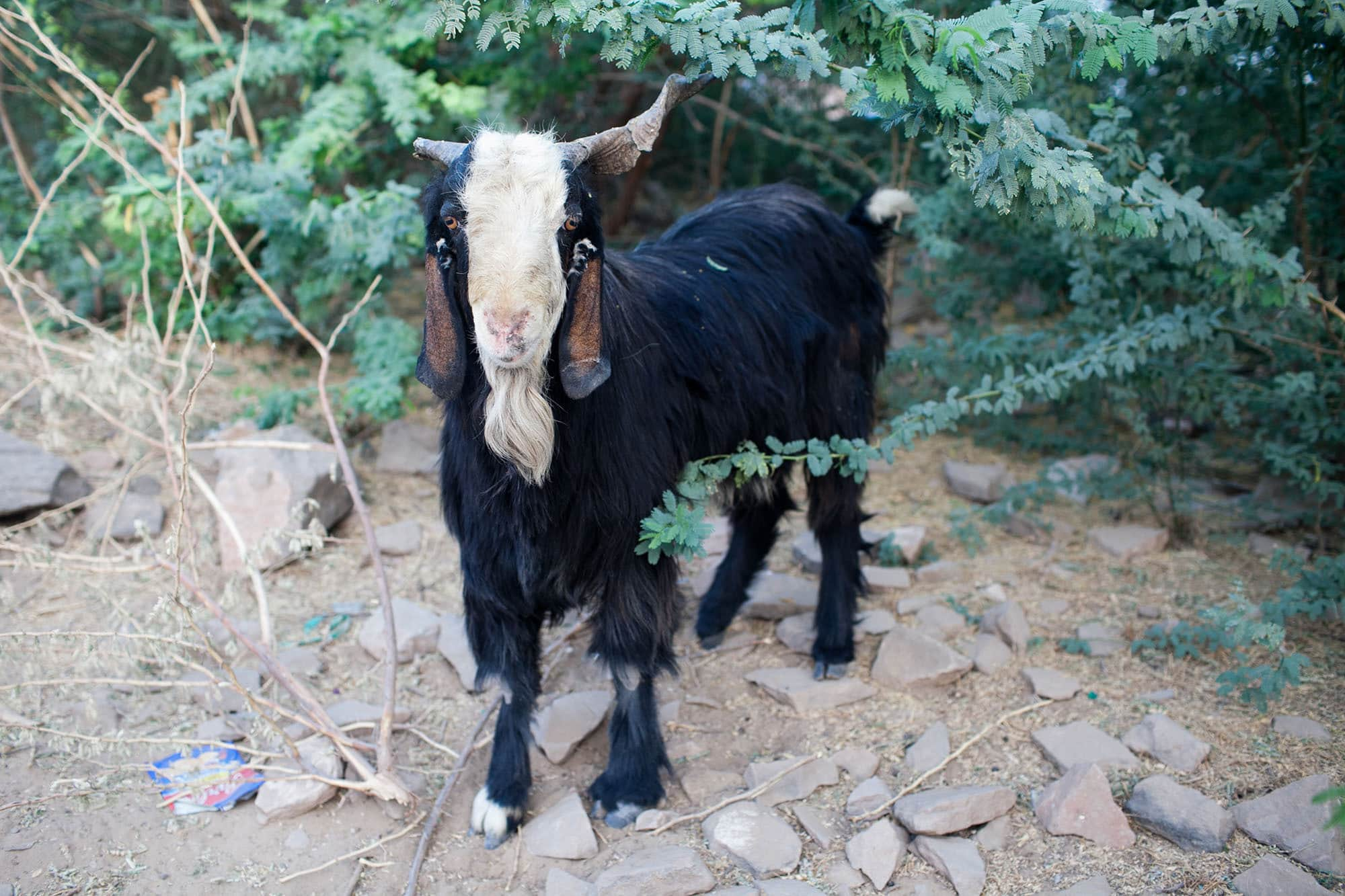 Goats in Setrawa, India.