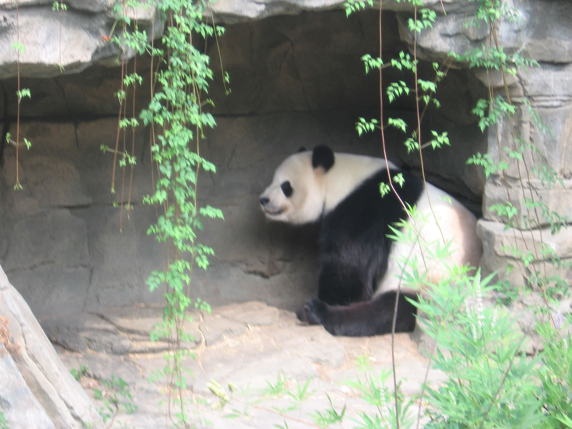 Panda in Washington D.C.