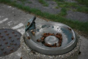 Cicadas in a drinking fountain | Cicada Photos - 17 year Cicadas in Brookfield, Illinois in 2007.