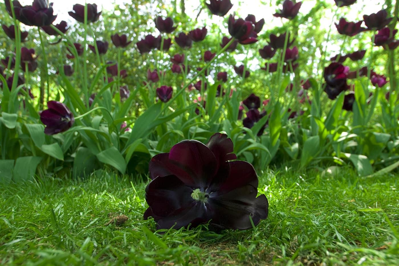 Keukenhof flower garden in Lisse - see tulips in Amsterdam.