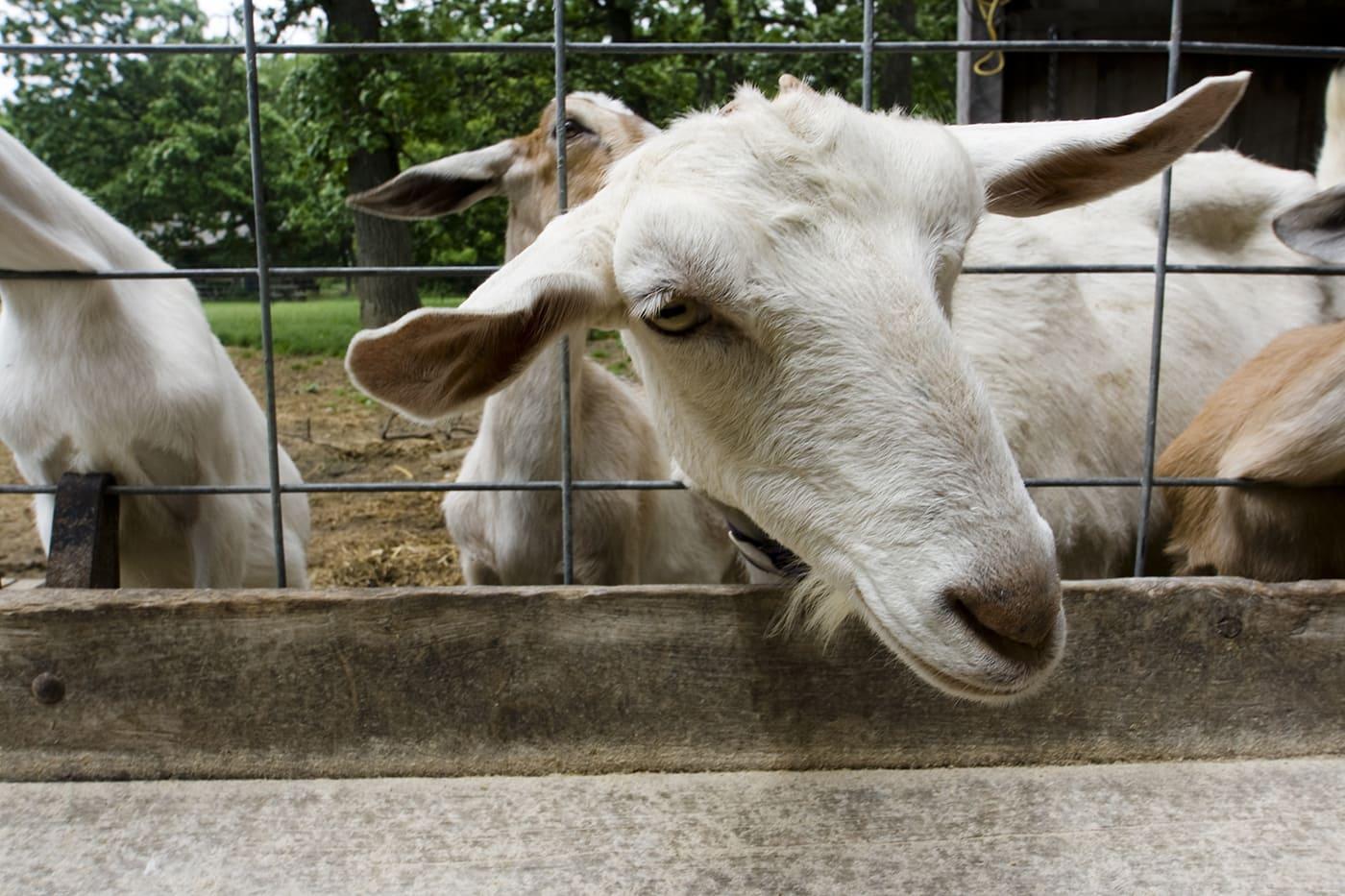 Goat at Angelic Organics in Caledonia, Illinois.