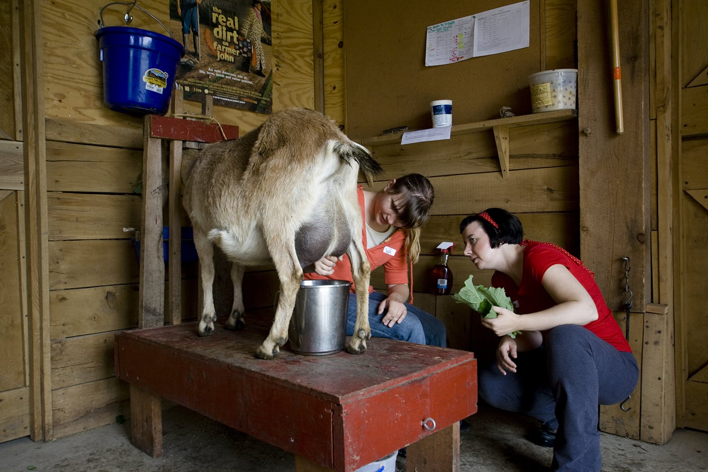 Milking a goat at Angelic Organics in Caledonia, Illinois.