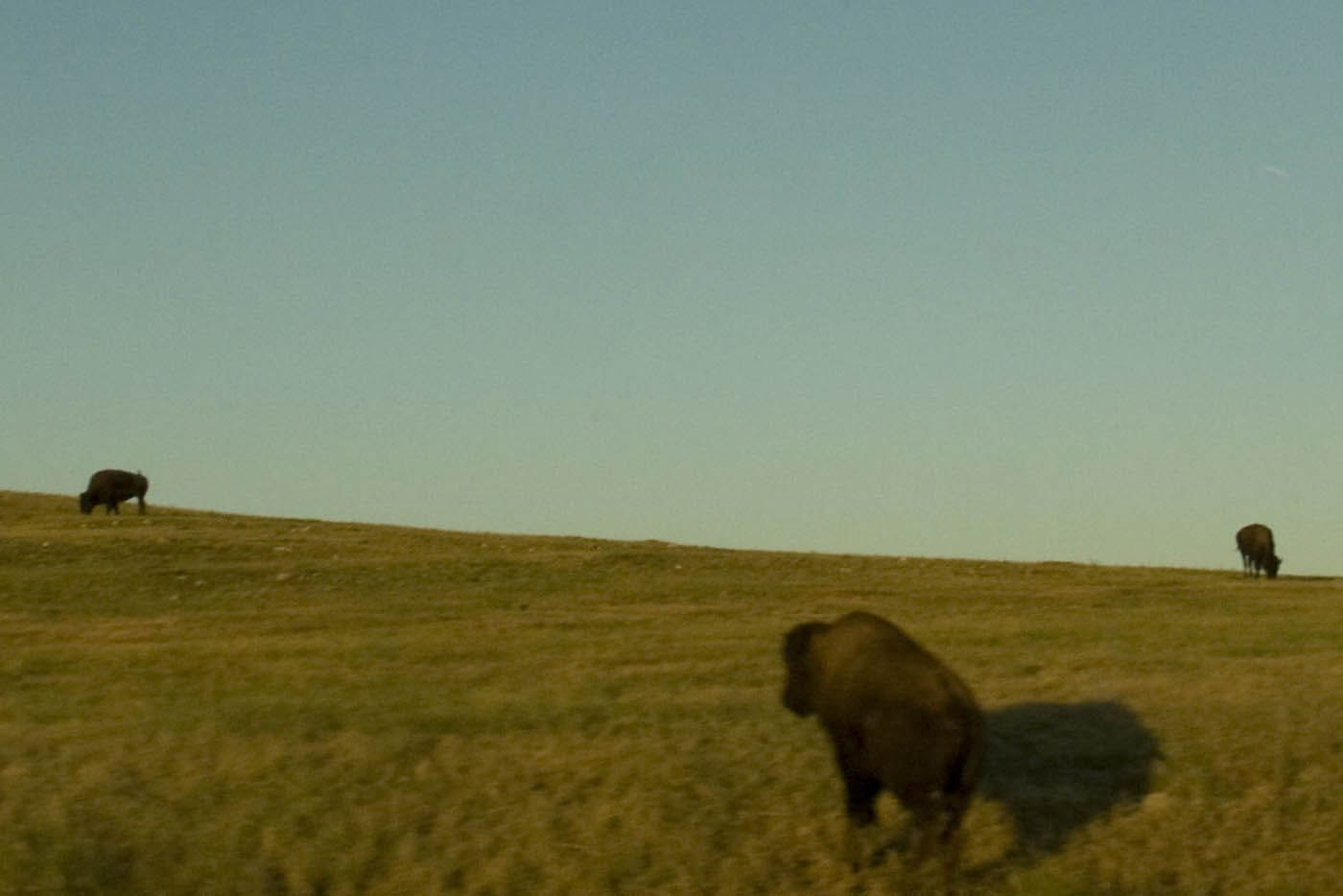 Buffalo roaming in South Dakota. Labor Day Chicago to Mount Rushmore Road Trip.