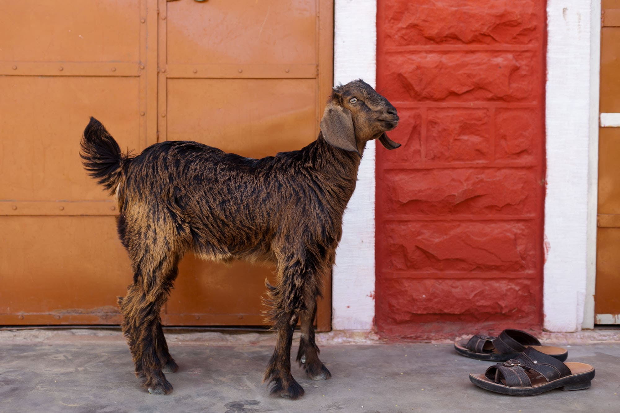 Goats in Setrawa, India
