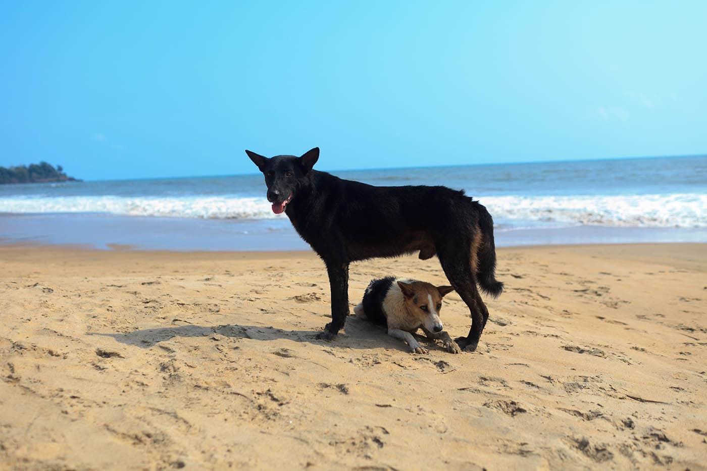 Dogs on the beach in Palolem, Goa, India.