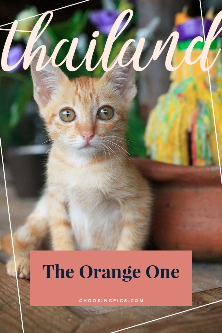 The orange one. Mimi the hostel cat in Chiang Mai, Thailand.