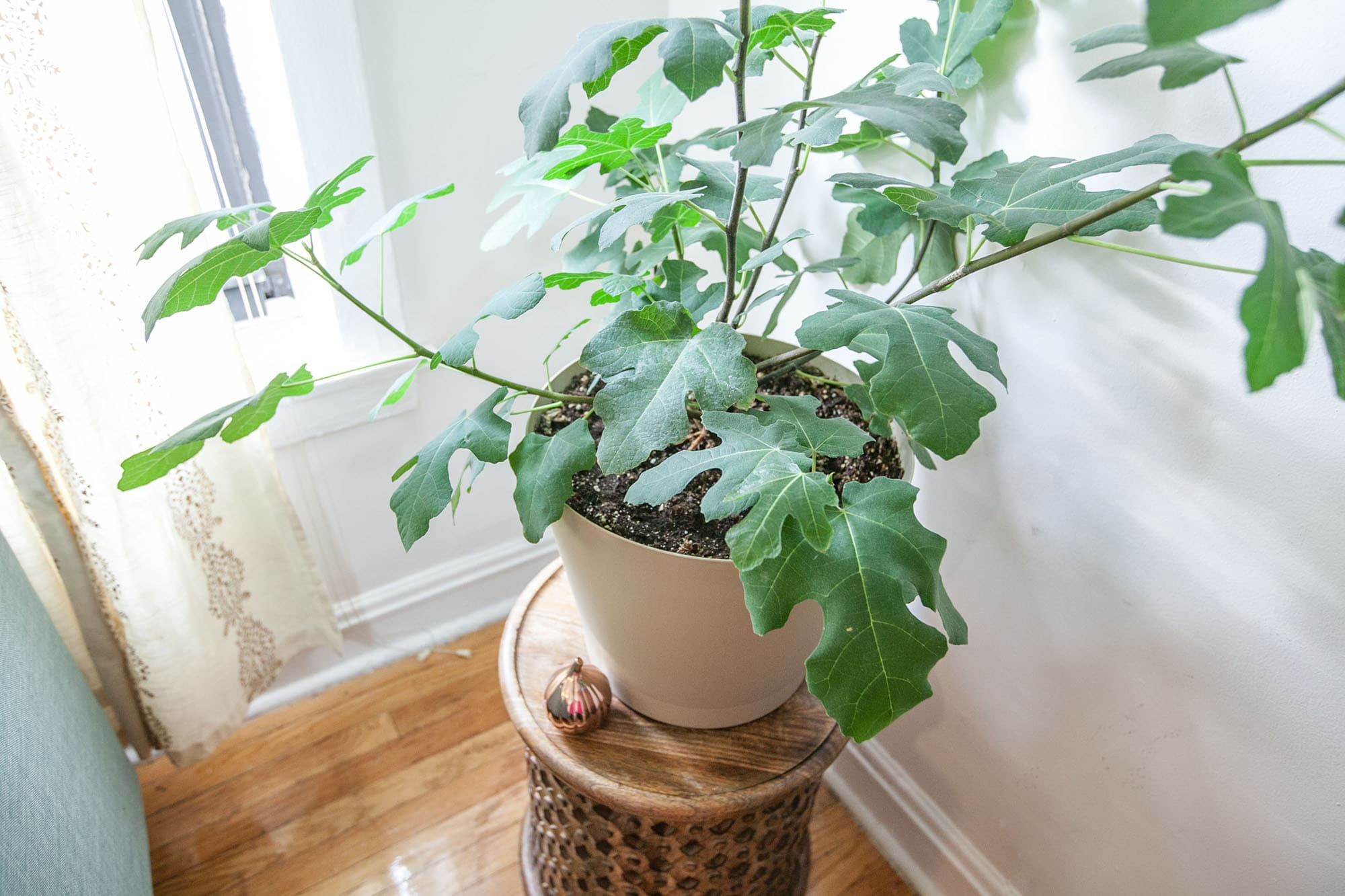 Chicago Hardy Fig Tree in a Chicago Apartment