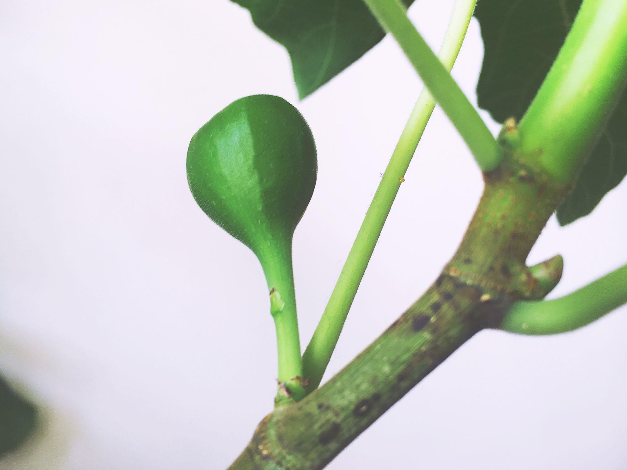 Growing a fig - Week 4