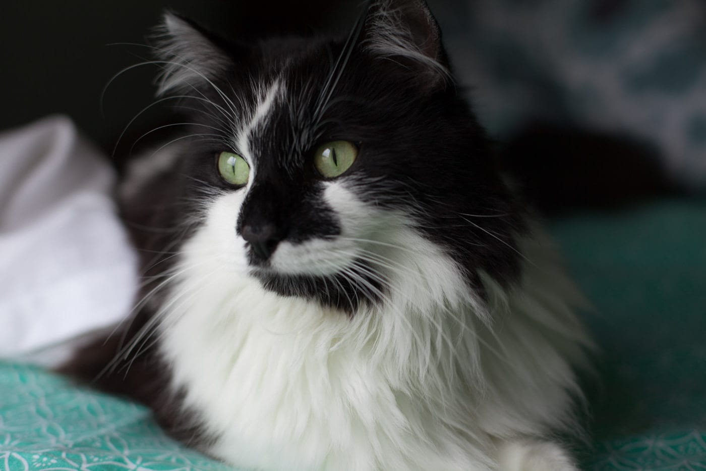 Bandito the Cat - Maine Coon - My First Foster Cat