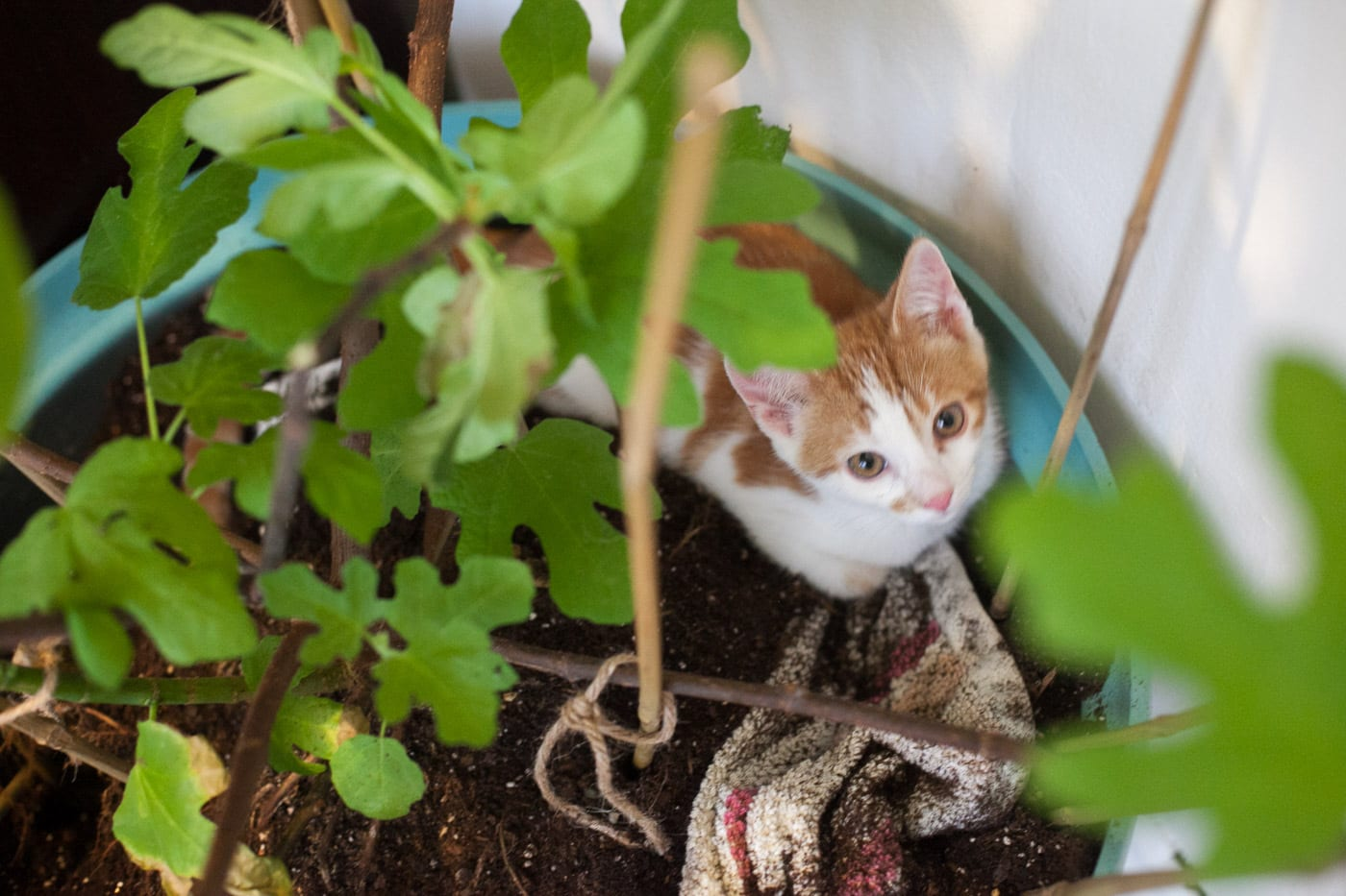 Rooney cat playing in the soil of my fig tree.