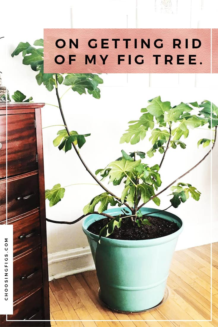 On getting rid of my fig tree. Getting rid of my Chicago Hardy fig tree because my cats were destroying the plant and my apartment.